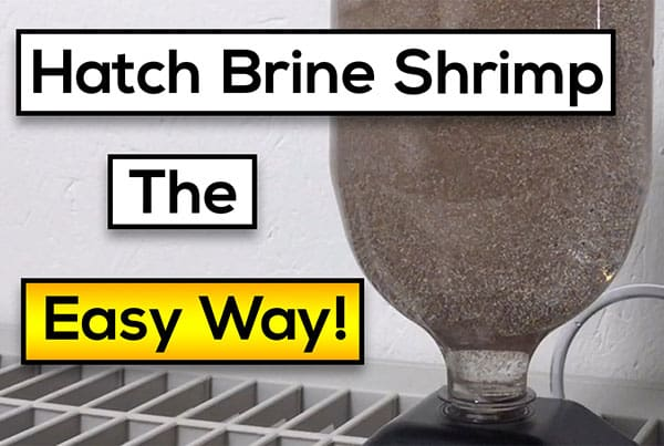 Hatching Live Brine Shrimp : Easy Steps [Fast Results!]