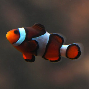Common Ocellaris Clownfish - Photo by harum.koh