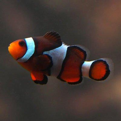 Common Ocellaris Clownfish - Photo by harum.koh