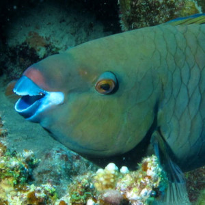 Parrotfish - photo by Derek Keats